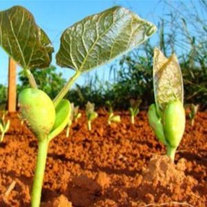 Plantas aproveitam micróbios para obter nutrientes