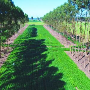 SISTEMAS ILPF: Soja é mais tolerante à sombra do que o milho